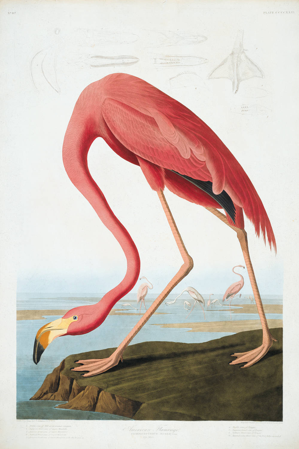 american flamingo Flamingoes are gregarious birds, and like to be together in relatively large numbers this gregarious nature can produce problems when sick or injured flamingoes need to be removed from the flock and hospitalized.